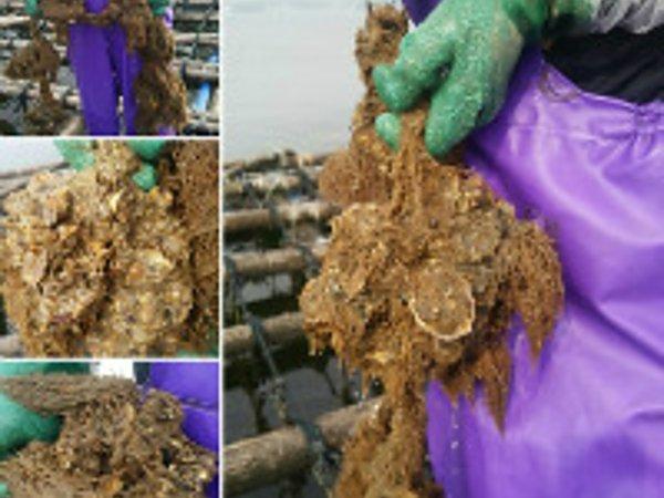 牡蠣の生育状況8月7日の画像