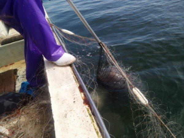 クラゲ漁解禁の画像