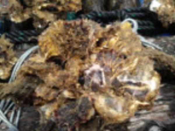 牡蠣の生育状況 7月7日の画像